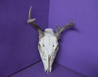 Real bone animal part deer skull with antler horn head taxidermy mount wall man cave