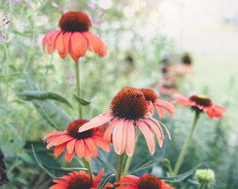 New! Flower Photography- Cone Flowers Print, Nature Photography, Echinacea Flowers, Floral Wall Art, Summer Flowers, Salmon Green Wall Art