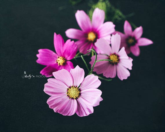 Cosmos Photography Flower Photography Pink Flowers Photo Etsy