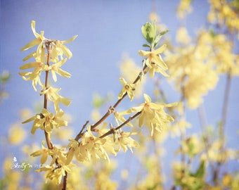 Forsythia Photograph- Nature Photography, Flower Photography Yellow Flower Art, Floral Wall Art, Yellow Decor, Spring Flowers Print