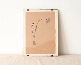 Narcissus Triandrus - wild narcissus botanical watercolor art print