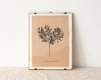 Daphne Gnidium - botanical watercolor art print