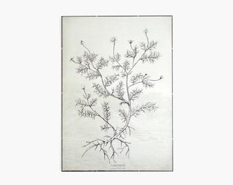 Camomile - botanic plant illustration canvas print poster - flower ink drawing art print wall decor 50cm x 70cm -CAMP2001