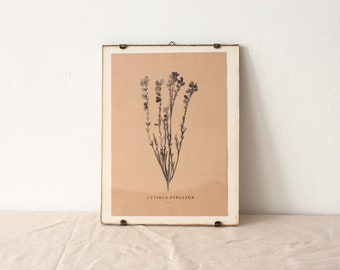 Cytisus Striatus - portuguese broom botanic watercolor art print