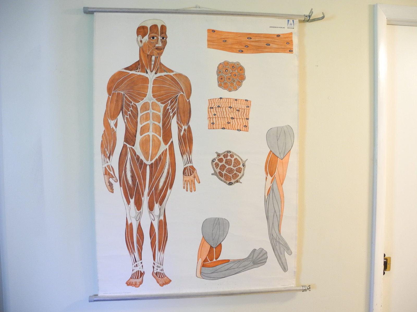 Vintage German School Pull Down Chart Anatomy Male Muscular Etsy