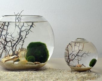 Marimo Terrarium - Japanese Moss Ball Aquarium - Fishbowl Glass Vase - Giant Marimo - Home Decor - Green Gift