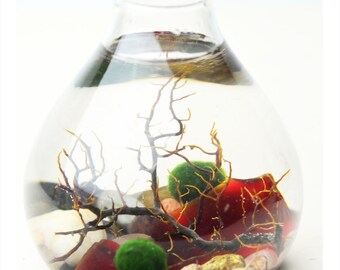 Marimo Terrarium - Japanese Moss Ball Aquarium- Teardrop Vase - Sea Fan - Red Sea Glass - Living Home Decor - Green Gift