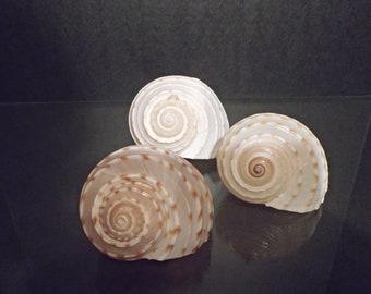 Large Sea Shells