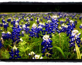Field of Blue Bell Flowers with Green Fine Art 5 x 7 Greeting Card by Jonah Gilmore