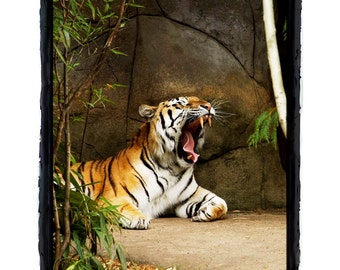 Tiger Yawn with Fang Sleepy Tiger Fine Art Greeting Card 5 x 7 by Jonah Gilmore