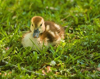 Forever Young, baby duck, fine art photo 8X 12 inches