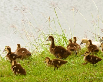At Play, spring, baby ducks, 8x12 inch fine art photo print