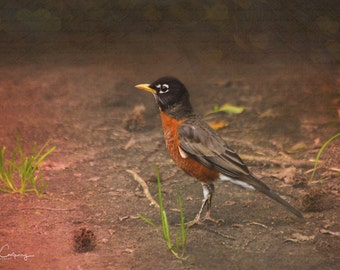 Romeo the Robin, fine art photo, signed by me