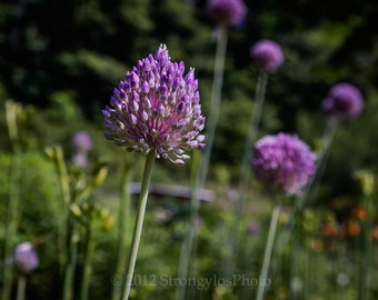 8x10 purple garlic bloom Allium botanical art photo, flower photo, nature photography, kitchen decor