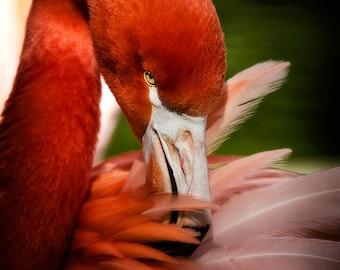Pink Flamingo, bird photography, pink feathers, fine art photography, various sizes, StrongylosPhoto