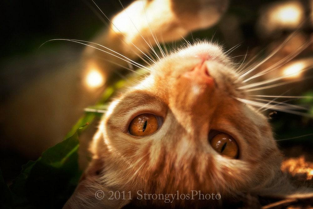 Ingwer-orange Tabby-Katze bernsteinfarbene Augen verfilzte 5   Etsy