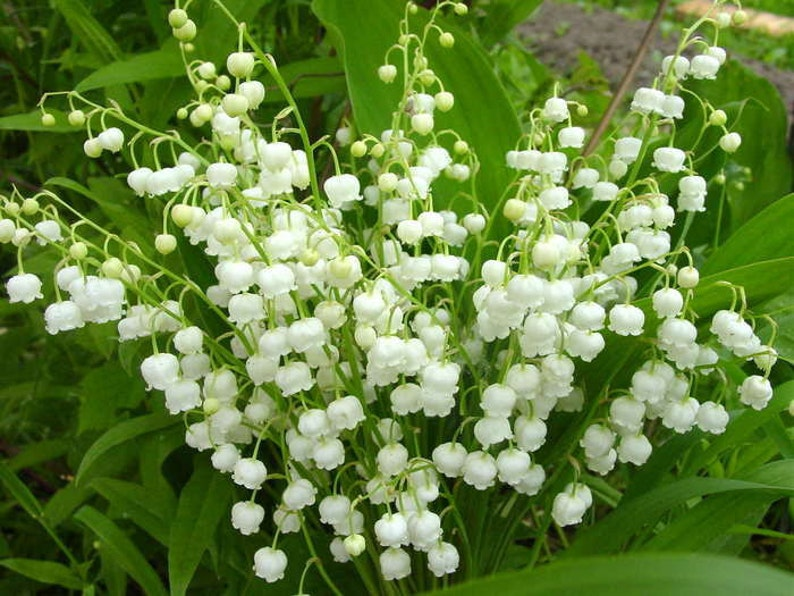 WHITE LILY Of The VALLEY-30 Plants PipsCorms