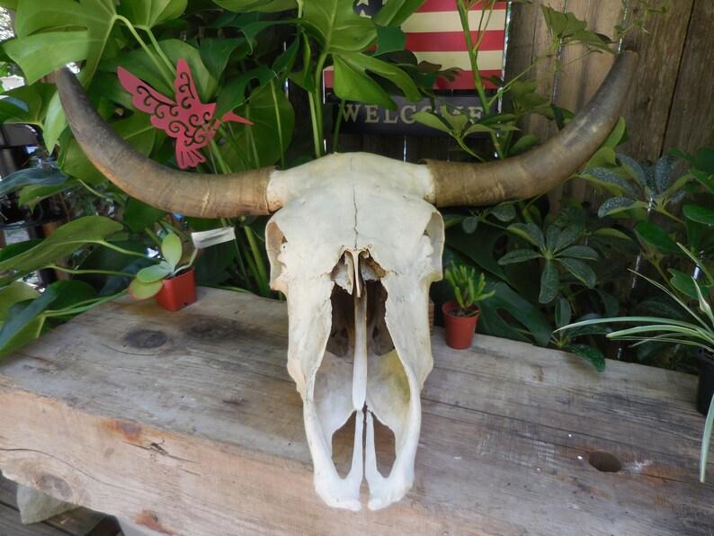 Steer Head Skull wall mount