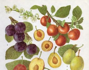 Vintage Botanical Print Plums 69 fruit blossoms plum kitchen 1960s original decor wall art print bookplate