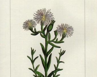 Vintage ARIDARIA VIRIDIFFLORA Botanical Print Antique Flowers 78 plant botanical lithograph print bookplate wall art print flower plants