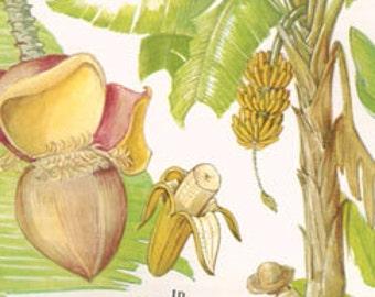 Botanical Fruits BANANAS Print edible plants kitchen vintage decor wall art garden illustration 109