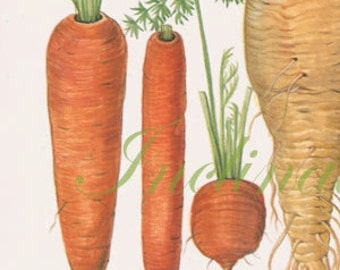 Vintage Botanical Print Antique CARROT PARSNIP 175, plant print botanical print, bookplate art print, vegetables plants plant wall