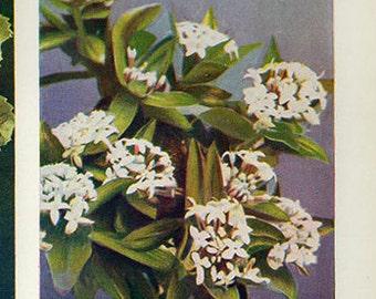 Vintage 1935 Botanical Print Antique DAPHNEW HOUHERE new zealand Flowers plant print botanical print, bookplate art print plants plant wall