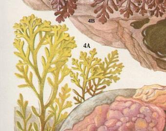 Vintage Botanical Print Antique BRITISH SEAWEED 7, plant print botanical print, bookplate art print, sea plants plant wall print wall art