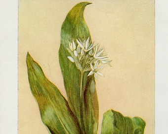 Antique Print, BROAD-LEAVED GARLIC Botanical flowers and herbs 21 wall art vintage color lithograph illustration natural science chart
