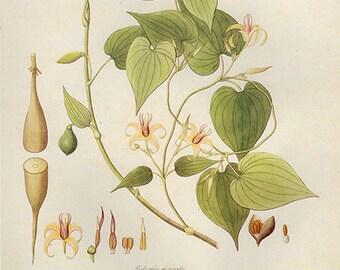 Vintage XLARGE ROXBURGHIA GLORIOSOIDES Botanical Print 46 Antique Flower print botanical, bookplate art print, flowers wall print wall art