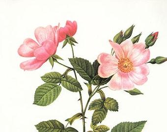 Prairie Rose art print vintage antique wall art pink flower art print Victorian art print antique rose art rose print prints 92