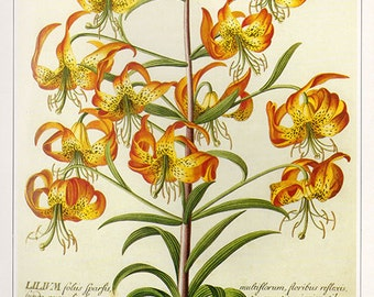 Vintage XLARGE SWAMP LILLY Botanical Print 28 Antique Flower print botanical print, bookplate art print, flowers flower wall print wall art