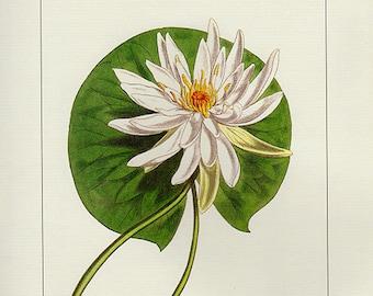 Vintage Botanical Print Antique lNymphaea Odorata 97, plant print botanical print bookplate art print, plants plant wall print wall art