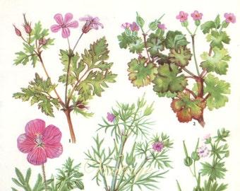HERBS CRANESBILL herbs Vintage Botanical Print Antique, plant print 129 botanical print, bookplate art print, herb plants plant wall print
