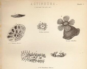 Antique Print, ACTINOZOA SEDENTARY SEA 2 Life 1890 wall art vintage lithograph illustration natural science chart
