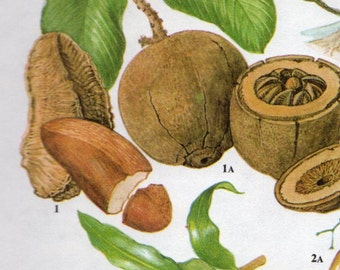 Vintage Botanical Print Antique BRAZIL CASHEW NUTS, plant print botanical print, bookplate art print, nut nuts plants plant wall