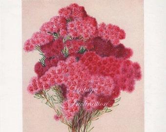 Vintage Botanical Print Antique Australian Flowers, pink plant print botanical lithograph print bookplate art print flower plants plant wall