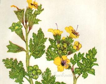 Vintage Botanical Print Antique HYOSCYAMUS yellow Flower print botanical print, bookplate art print, flowers flower wall print wall art