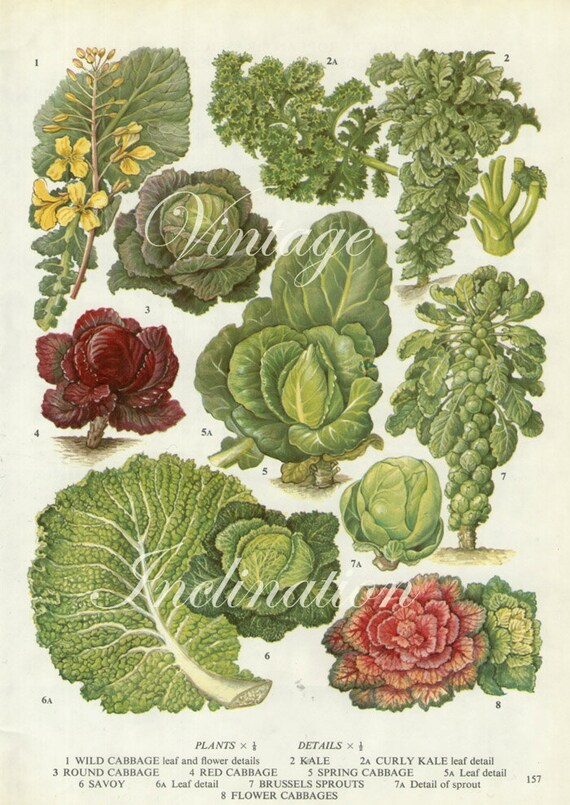 Vintage Botanical Print Antique Cabbage Sprouts 157 Plant Etsy