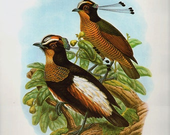 Antique Print, QUEEN CAROLA'S Paradise Bird, Victorian birds chart beautiful wall art vintage color lithograph illustration 1970 woodlands