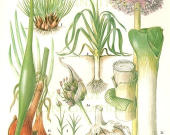 Vintage Botanical Print Antique LEEK plant print botanical print, bookplate art print, vegetables plants plant wall