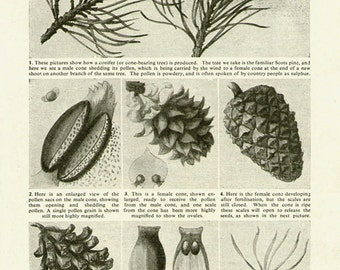 Antique Print, PINE TREE cones 1920s wall art vintage b/w lithograph illustration natural science chart