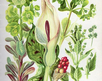 Vintage Botanical Print LORDS-AND-LADIES Wood Spurge 63 Antique Flower print vintage botanical, bookplate art - plants flowers wall print