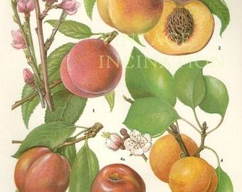Vintage Botanical Print Antique PEACHES, plant print botanical print, bookplate art print, peach fruit plants plant wall print