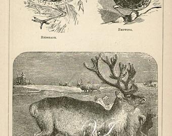 1871 Antique Reindeer animal engraving encyclopedia print bookplate page