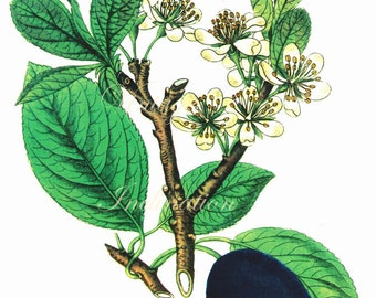 Vintage FRUIT Botanical Print 98 antique plant print botanical print, bookplate art print, herbs herb plants plant wall print