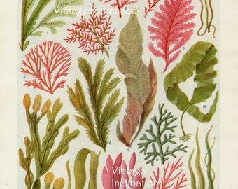 Vintage Botanical Print Antique BRITISH SEAWEED, plant print botanical print, bookplate art print, sea plants plant wall print wall art