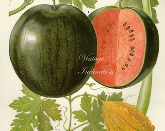 Vintage Botanical Print Antique WATER MELONS, plant print botanical print, bookplate art print, peach fruit plants plant wall print