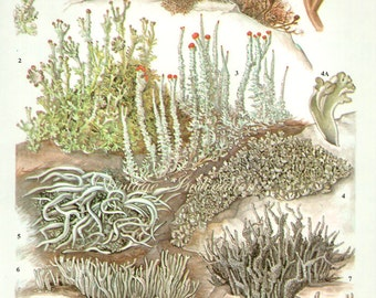 LICHEN Vintage Botanical Print Antique, plant print 69 botanical print, bookplate art print, herb plants plant wall print