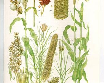 Botanical SORGHUM GRAIN Print edible plants kitchen vintage decor wall art garden illustration 9